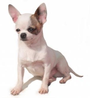 Le Chihuahua, votre futur compagnon ?
