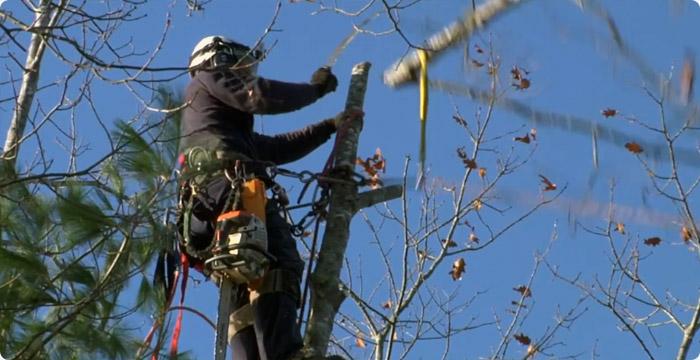 La taille et le soin aux arbres annuaire de site web de qualit creasite france - Tailler un cerisier trop haut ...